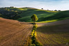 The (lost?) Love Tree (Mat Viv) Tags: canon sigma sigma1750mmf28 sigmalens wideangle sun sunlight sunset nature naturallight sky tree field travel italy siena tuscany valdorcia outdoors landscape hills green grass crops art fineart golden light view beauty beautiful heart love engraved