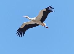 back again ❤ (BrigitteE1) Tags: backagain storch linum brandenburg deutschland germany landbrandenburg stork bird fz300 panasonic weisstorch whitestork ciconiaciconia specanimal