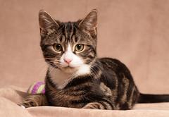 'My Ball' (Jonathan Casey) Tags: nikon d810 105mm f28 vr kitten tabby white cute portrait ball