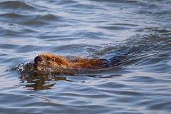 Swimming Beaver (Piedmont Fossil) Tags: sandypoint state park maryland chesapeake bay beaver mammal wildlife