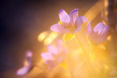 Hepatica nobilis (KariFinland) Tags: canon 5d helios 58mm blue lily spring light