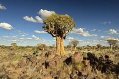 Quiver tree forest, Namibia (clasch) Tags: quiver tree forest namibia africa kokerboom keetmanshoop landscape nature desert nikon d7000 nikkor 1224 aloe dichotoma
