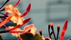 Macro mundo (ojoadicto) Tags: flowers flores macro atardecer calida jazmin primavera