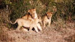 Walk through Lion cub wash (simonjmarlan) Tags: lions serengeti africa wildlife cute cats