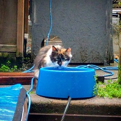 Hester has decided to stay! We see her in the yard daily now. Hope to see her getting friendlier with the other cats soon. #relocatedcat #feral #TNR #bushwickcats (Jimmy Legs) Tags: hester has decided stay we see her yard daily now hope getting friendlier with other cats soon relocatedcat feral tnr bushwickcats