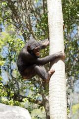 DSC04135 (Cyn Reynolds) Tags: chimpanzee losangeleszoo 2017 a77ii tamron150600 treeclimbing