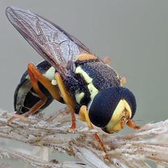 Hoverfly (pen3.de) Tags: penf 60mmmakro tier animal insekt fliege fly schwebfliege schlafen flügel colors morgens morgentau morgenlicht grasähre makro natur naturlicht wildlife beine tropfen augen facettenaugen focusbkt fühler