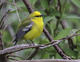 Blue-winged warbler-Mine Road-4-30-17-1