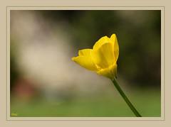 Bouton d'or ! (thierrymazel) Tags: bouton or gold button fleurs flowers blossoms printemps spring nature bokeh profondeur champ pdc cadre bordure