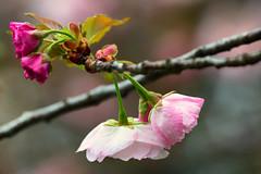 To Mom (Ben-ah) Tags: cherryblossom sakura pink spring bbg brooklynbotanicgarden garden macro