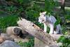 20170420 - BEAUVAL Tigre blanc  - Nikon - 0839 (laurent lhermet) Tags: beauval nikkor18105 nikond3300 tigreblanc