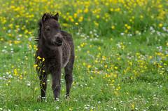Zwergpony fohlen (Silu Junior) Tags: pony pferd horse dwarf fohlen junges baby tier animal