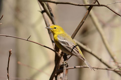 Pine Warbler (av8s) Tags: pinewarbler warbler birds perchingbirds songbirds nature wildlife photography nikon d7100 sigma 120400mm nescopeckstatepark pennsylvania pa