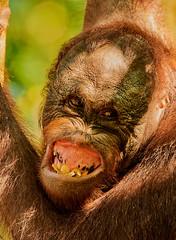BOR_9681 (lucvanderbiest) Tags: orangoetang borneo maleisië sabah sepilok orangoetangrehabilitationcenter