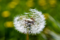 Dandelion (WhiteShipDesign) Tags: dandelion flower seed summer nature spring plant background macro head fluffy growth blossom delicate white fragility life closeup season bloom texture fragile natural taraxacum puff