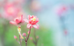 Spring Pastels. (paulapics2) Tags: pastel soft pretty femnine fleur flora floral blümen aquilegia columbine spring frühling printemps outdoor nature hydehall rhsgardenshydehall may canoneos5dmarkiii sigma105mmf28exdgoshsmmacro depthoffield bokeh