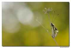 Ascalaphe soufré - Libelloides coccajus (Maryline ROHER) Tags: ascalaphesoufré libelloidescoccajus