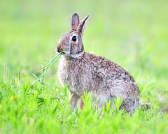 006604252017a (bassgal71/Sarah Rodefeld) Tags: rabbit oklahoma wildlife wild nature hare bunny animal nikon