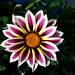 Gazania primus inter pares - Quinta flower