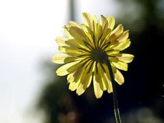 backlit weed (abwaco68) Tags: digital zuiko zd 50mm weed texas yellow