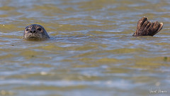 Veau Marin (Vincent Villemaire) Tags: baiedesomme veau marin animal wildlife