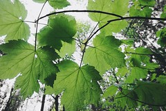 Nature 🍃 (lindseysutherland2) Tags: photosynthesis wild outdoor woods forest picture trails walks scotland woodland twig bigleaf smallleaf leaf happy sticks green nature branches trees leaves