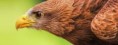 Yellow Billed Kite Profile (dianne_stankiewicz) Tags: raptor nature wildlife yellowbilledkite profile portrait feathers beak eye