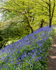 Bluebell bank (Keith in Exeter) Tags: blubells flowers blue carpet bank slope nature path tree shade coneyscastle nationaltrust dorset england landscape outdoor