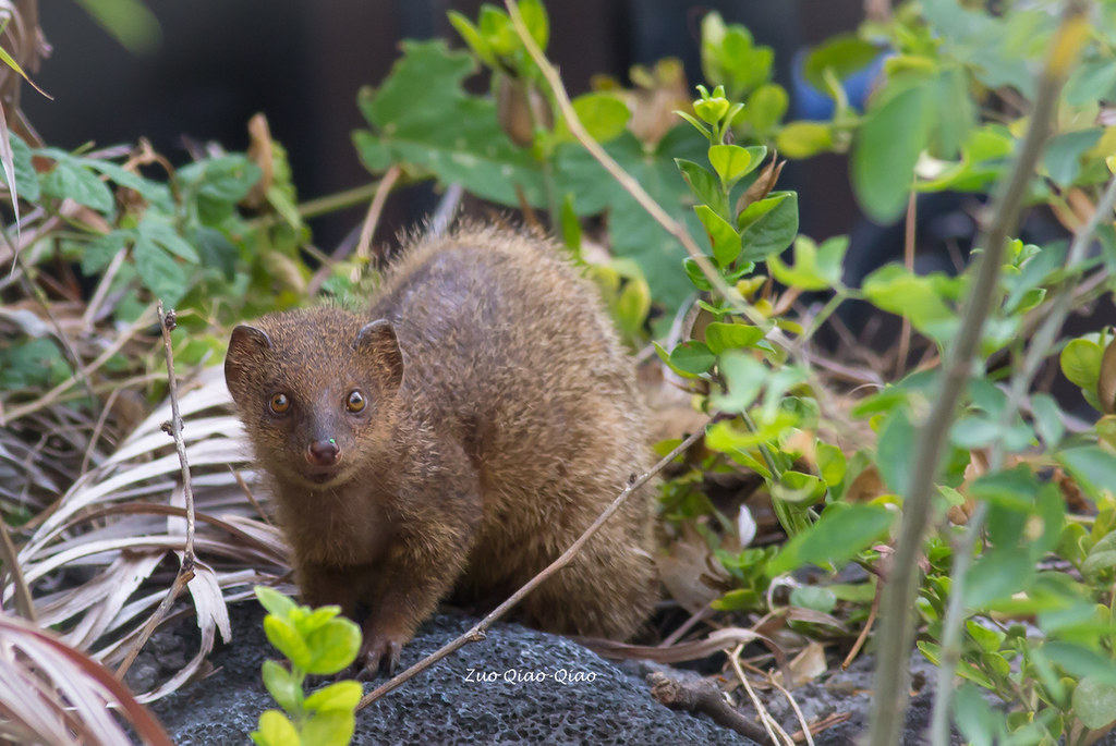 10c0d2776b The World s newest photos of hawaii and mongoose - Flickr Hive Mind