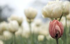 Untitled (Wouter de Bruijn) Tags: fujifilm xt1 fujinonxf35mmf14r tulip tulips flower flowers bokeh depthoffield plant macro nature outdoor bulb bolwerk middelburg walcheren zeeland nederland holland netherlands dutch