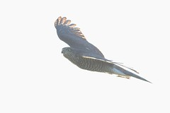 HNS_7673 Sperwer : Epervier d'Europe : Accipiter nisus : Sperber : Northern Sparrow Hawk
