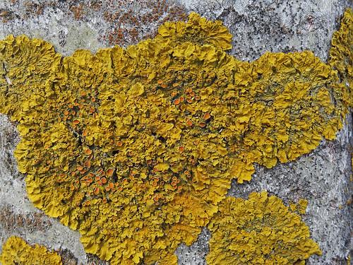 Xanthoria parietina - Maritime Sunburst Lichen
