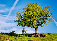 Under the shade of the tree (Missy Jussy) Tags: sheep lambs shadows light sky bluesky tree hillside piethornevalley landscape lancashire land rochdale northwest england springtime spring canon canon5dmarkll primelens 50mm ef50mmf18ll canon50mm outdoor outside countryside unitedkingdom uk lonetree