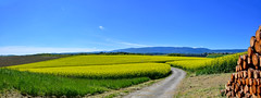 Champs de colza (Diegojack) Tags: gollion vaud suisse panorama paysages campagnes colza jaune