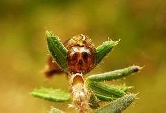 Bug Eyed - HMM..x (Lisa@Lethen) Tags: macro monday eyes bug nature wildlife