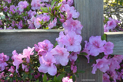 On the fence - HFF! (JSB PHOTOGRAPHS) Tags: dsc633200001 fencefriday fence happyfencefriday flowers altonbakerpark eugeneoregon nikon v2 1030mm hff