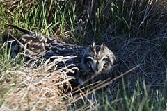 Short-eared owl 43 (brandugla) (Svenni and his Icelandic birds.) Tags: brandugla asioflammeus shortearedowl