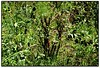 Yerba mate, Wanda (Misiones, Argentina) (Jesús Cano Sánchez) Tags: elsenyordelsbertins canon eos20d efs1855 vacances2007 argentina misiones wanda mate hierba yerba ilex paraguariensis rural