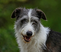 Badger - Constant Companion !! (Clive Brown 72) Tags: lurcher badger pet companion wales colliexgryhound canine