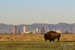 May 6, 2017 - An American Bison gazes at the Mile High City. (Tony's Takes)