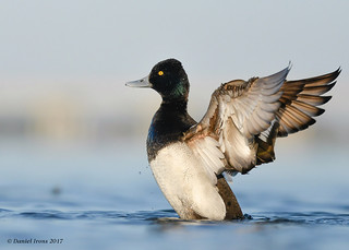 Lesser Scaup (Explored#16)