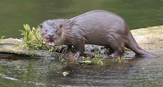 Otter (wild)