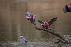 Coming down for an early morning drink (Malcom Lang) Tags: galah rose breasted cockatoo roseate pink grey cockatoos galahs drinking water river branch wings canoneos6d canon canon6d canonef canon100400 100400mm canon100400ef nature natural birds australia australian aussie southaustralia southern south southernaustralia ag ngc mal lang photography cacatua roseicapilla wildlife wewanttobefree
