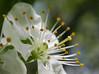 Plommeblomst (Snorre t.) Tags: norway vår spring oslo plumflower plumtree macro flowers
