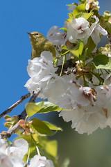 Orange-crowned Warbler (Shore Birder) Tags: orangecrownedwarbler lostlagoon stanleypark vancouver britishcolumbia warbler oreothlypiscelata blossoms
