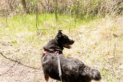 Jake (juliafrenchfrey) Tags: dog dogs animals animal canine australianshepherd bordercollie mutt lucienmorinpark