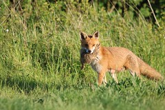 Mother Fox bringing food to her young (aaron19882010) Tags: fox hunter killer stalker nature dead rabbit dinner babies kits pups wildlife green grass red brown fur pointy ears been spotted seen me canon 750d outdoors outside laying field den foxes sigma lens 600mm sunny evening afternoon springwatch springwatch2017 yourbestoftoday bbcspringwatch