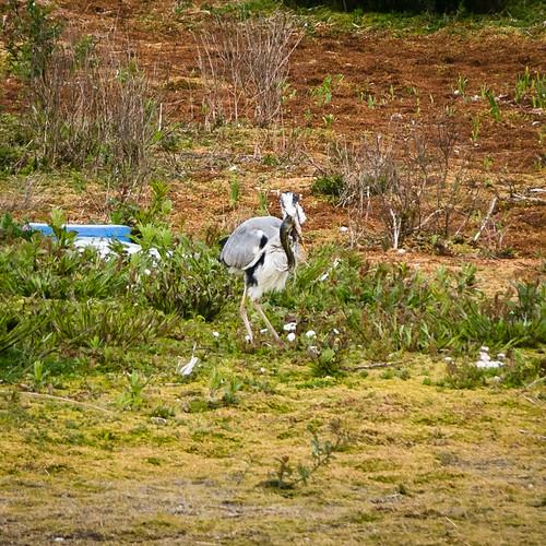 Heron v eel