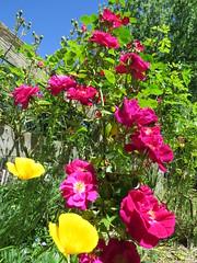 IMG_3295 (reuse) Tags: mayflowers