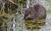 Muskrat-8058 (chrisclark39) Tags: muskrat turtlepond spring